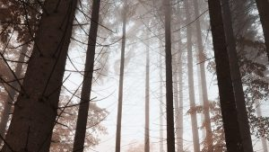 trees in the woods, foggy