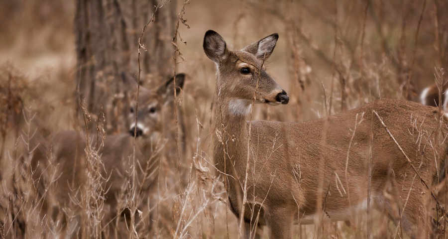 Two white tailed deer standing alert in the woods.