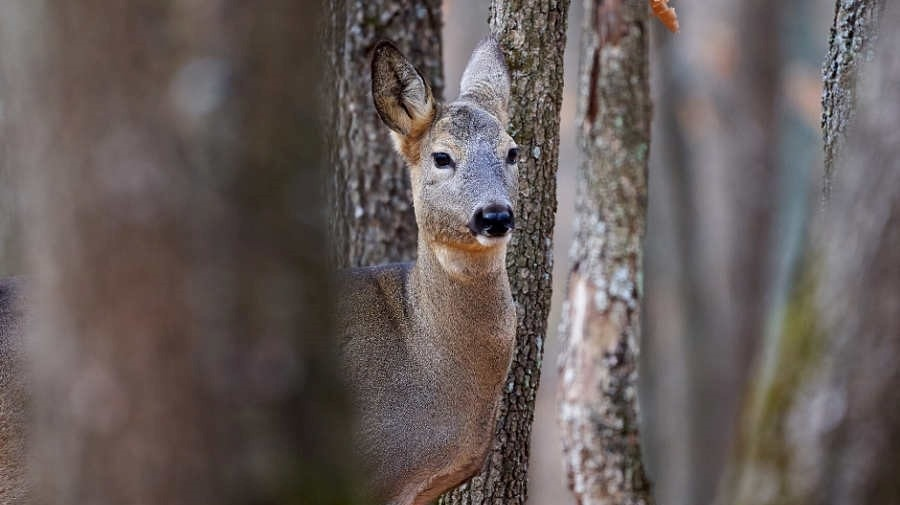 a doe looking through trees