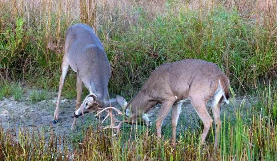 two bucks fighting during the rut