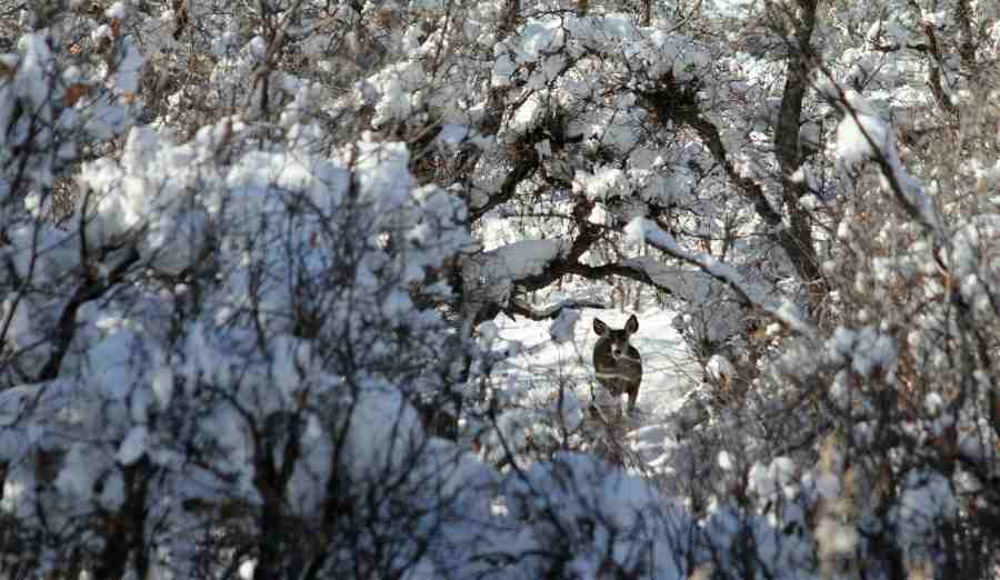 a deer behind a tree in the snow