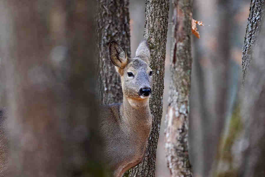 doe hiding behind tree