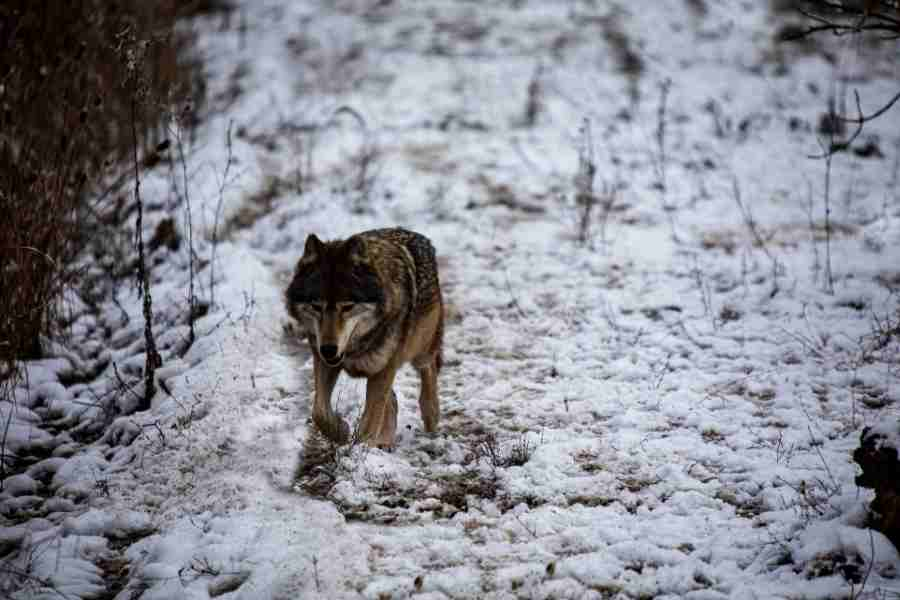 grey wolf in the snow running