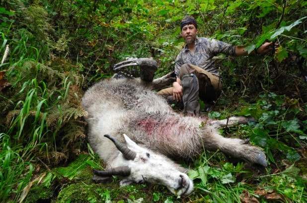 a giant mountain goat harvested by a bow hunter