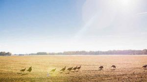 a flock of turkeys on a field
