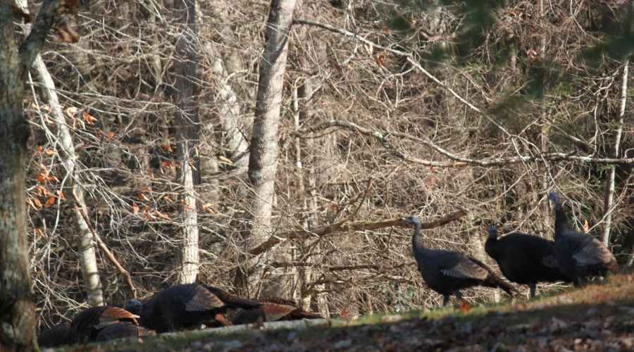 a-group-of-turkeys-in-the-wild-in-the-woods-spring-time