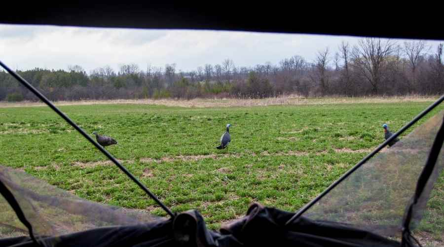 looking out of a groundblind at turkey decoys