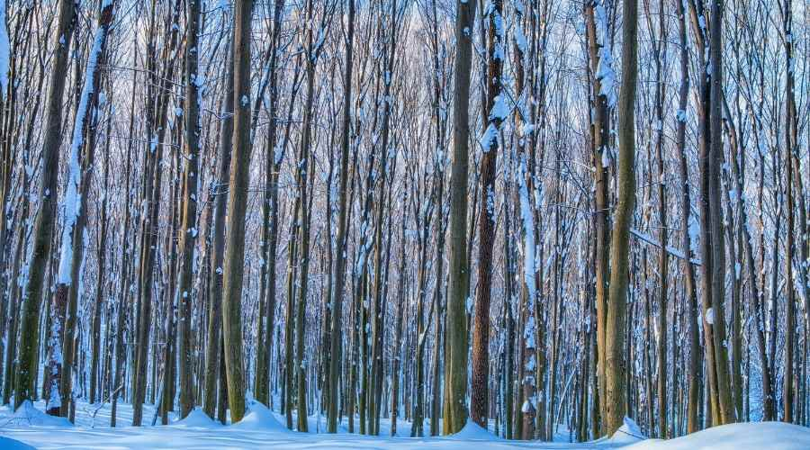 trees in the woods - covered in snow - snow on the ground
