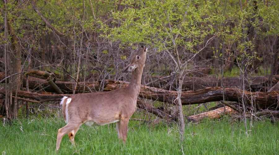 a white tail doe feeding leaves from atree