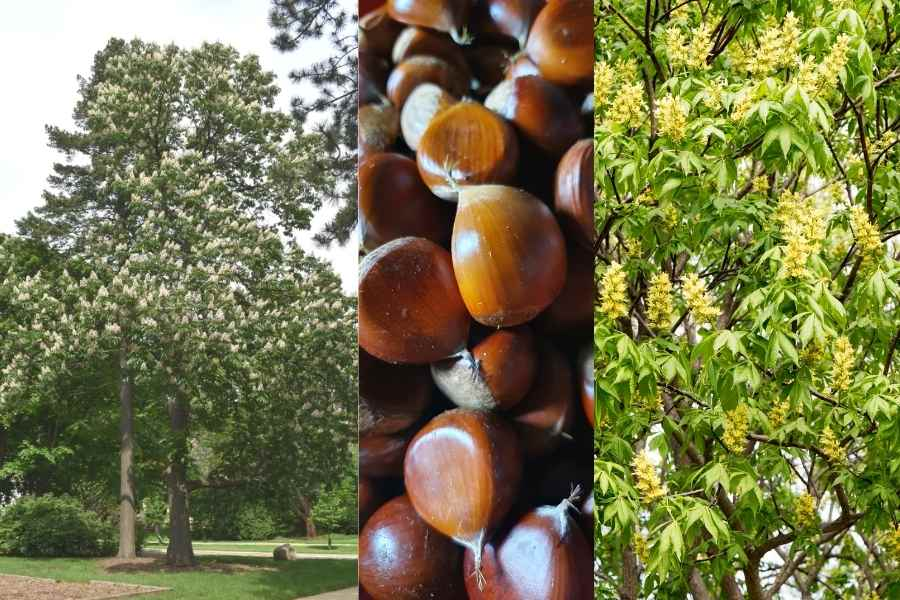 dunstan chestnut tree, nuts and leaves