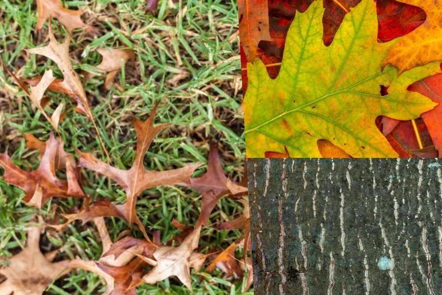 pin oak leaves and bark