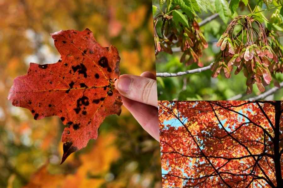 red maple tree, leaves, fruits