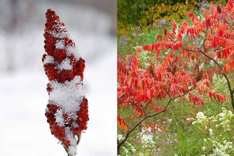 staghorn sumac tree seed pods winter and autum